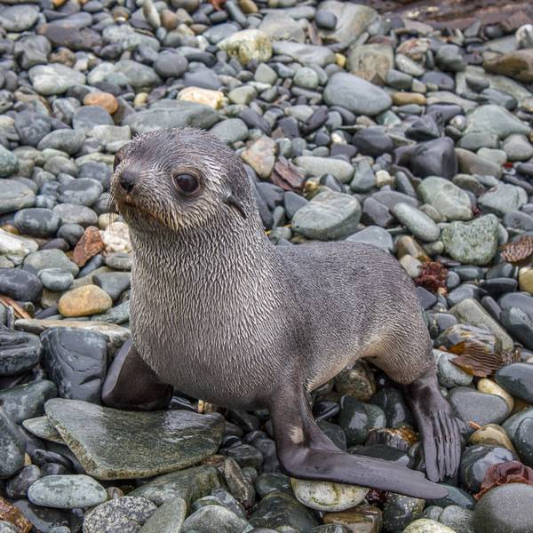 Seal pup, Cruise to Antarctica
