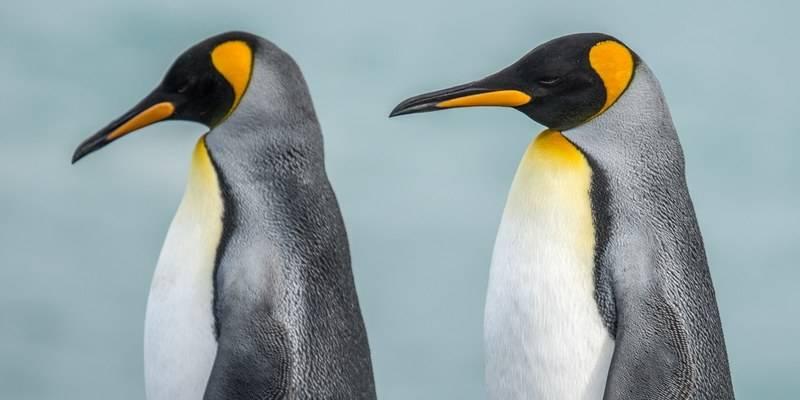 King penguin South Georgia, Cruise to Antarctica