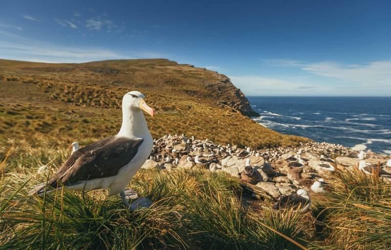 wandering albatross South Georgia, Cruise to Antarctica