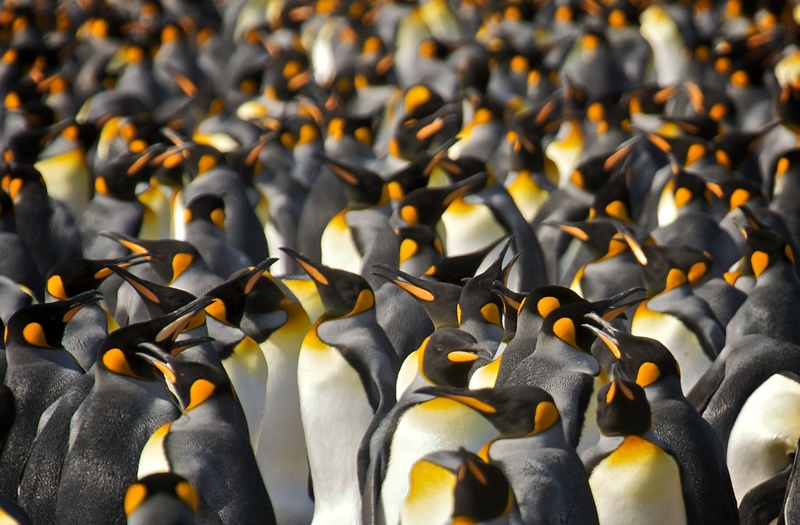 Fram King penguins, Cruise to Antarctica