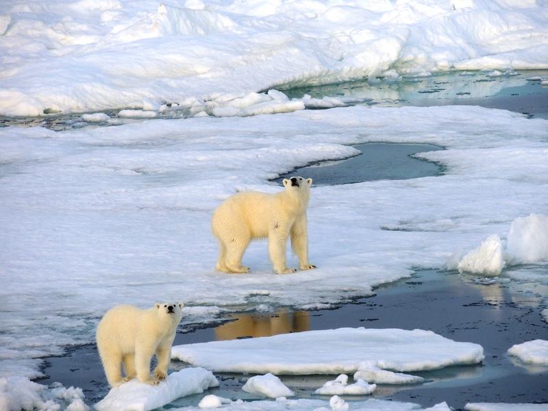 Polar bears, Svalbard, Arctic cruise