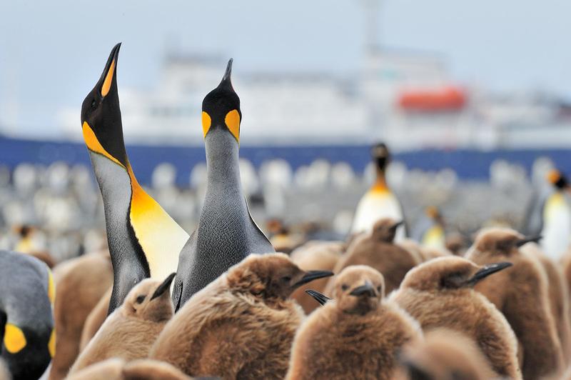 King penguin chicks, South Georgia, Cruise to Antarctica