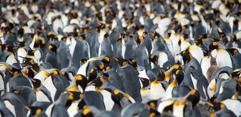 King penguins and South Georgia, Cruise to Antarctica