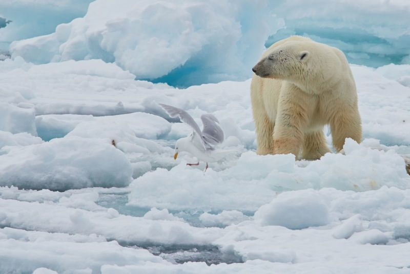 Polar bear in Spitsbergen, Arctic cruise