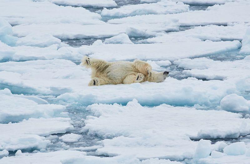 Polar bear on ice floe, Arctic cruise