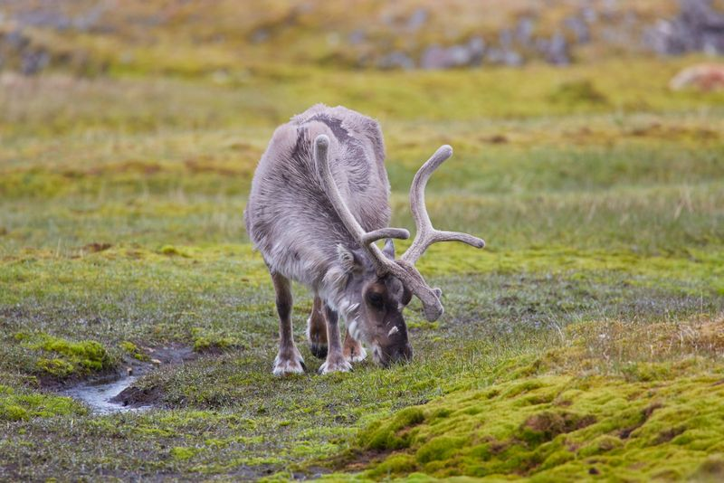 Reindeer in the Arctic, Arctic cruises