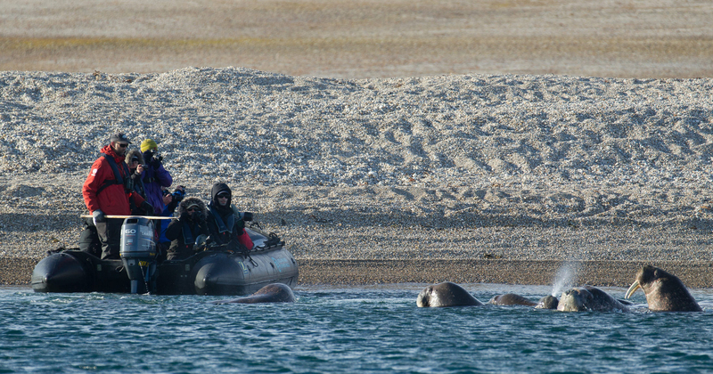 Walrus with Arctic tourists, Arctic cruise