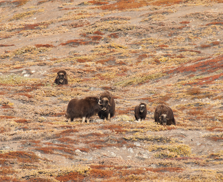 Musk Ox Greenland, Arctic cruise