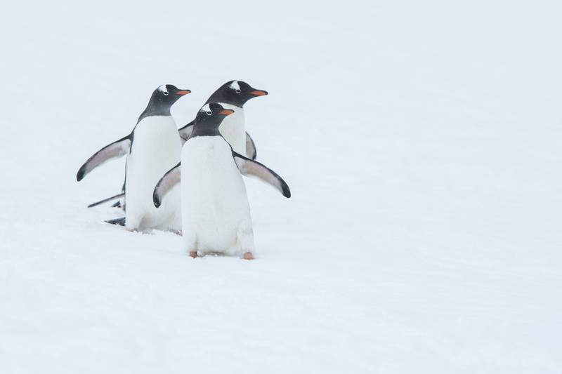 Gentoo penguin, Cruise to Antarctica