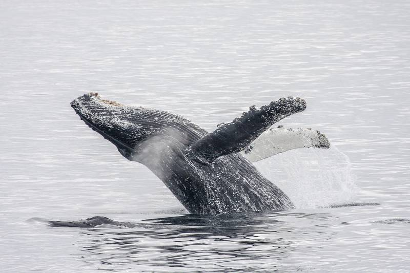 Whale breach in Antarctica, Antarctic cruise