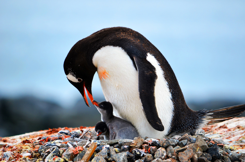 Penguin with chicks, Antarctic cruise