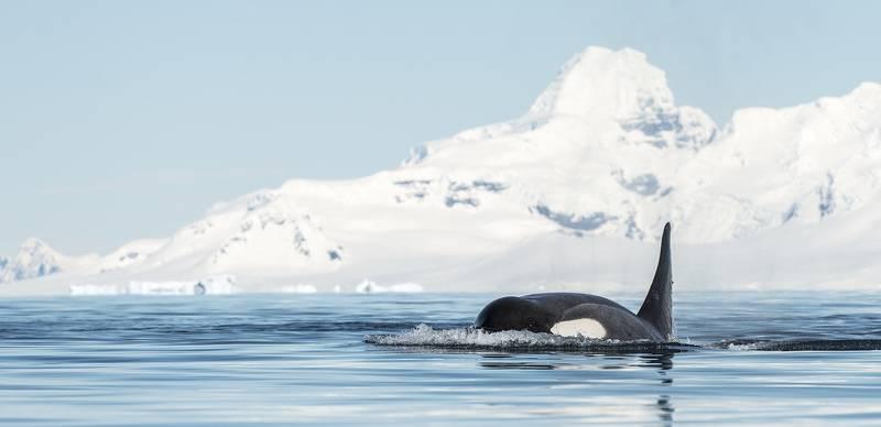 Orca in Antarctica, Cruise to Antarctica