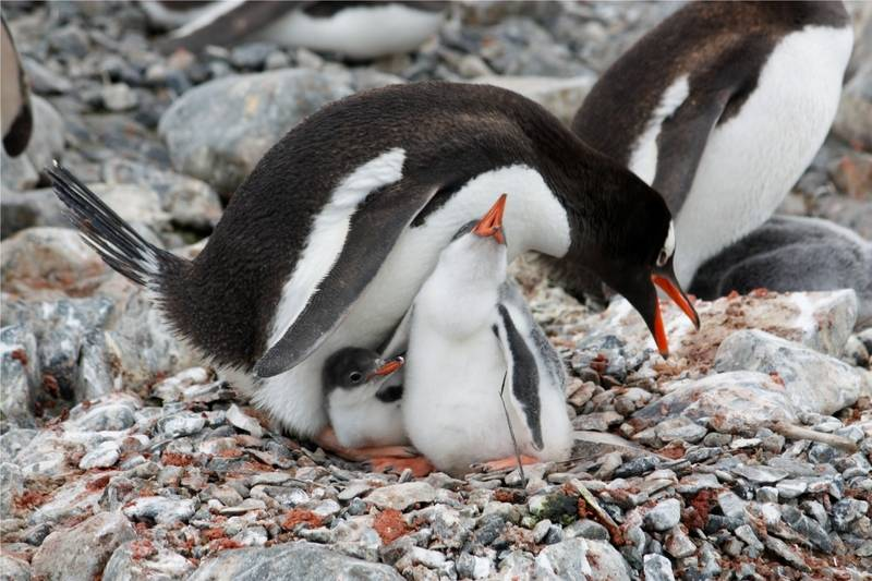 Penguin with chick, Antarctic cruise