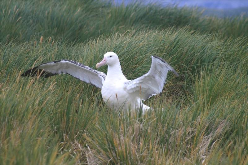 Albatross, Cruise to Antarctica