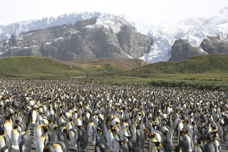 King penguins in South Georgia, Cruise to Antarctica