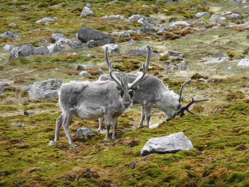 Reinddeer, Spitsbergen, Polar bear cruise