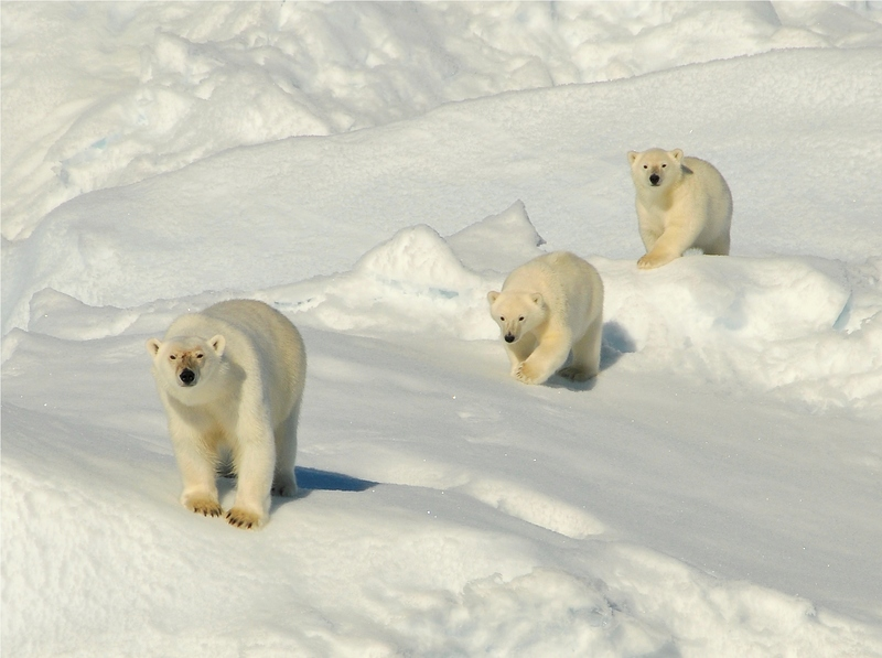 Polar bear with cubs, Arctic cruise