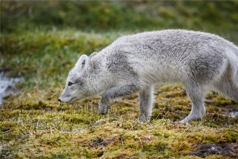 Arctic fox, Greenland, Polar bear cruise