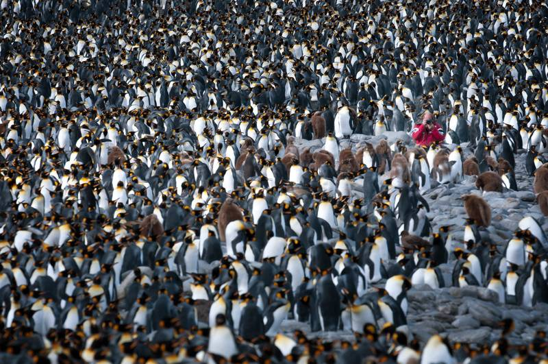 King penguins and photographer, South Georgia cruise