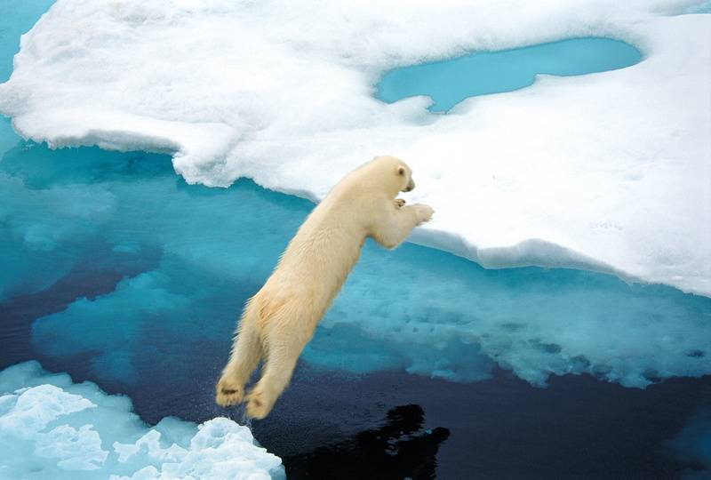 Polar bear, Arctic cruise