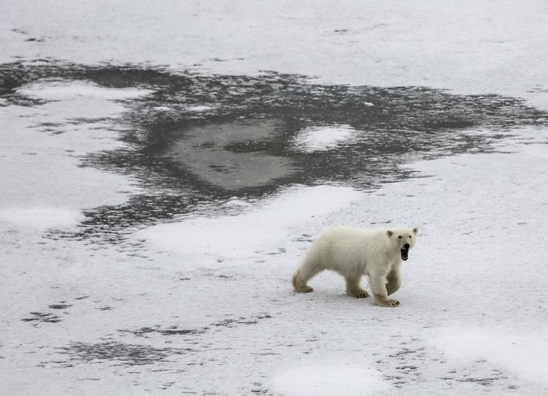 Polar bear, Spitsbergen, Polar bear cruise