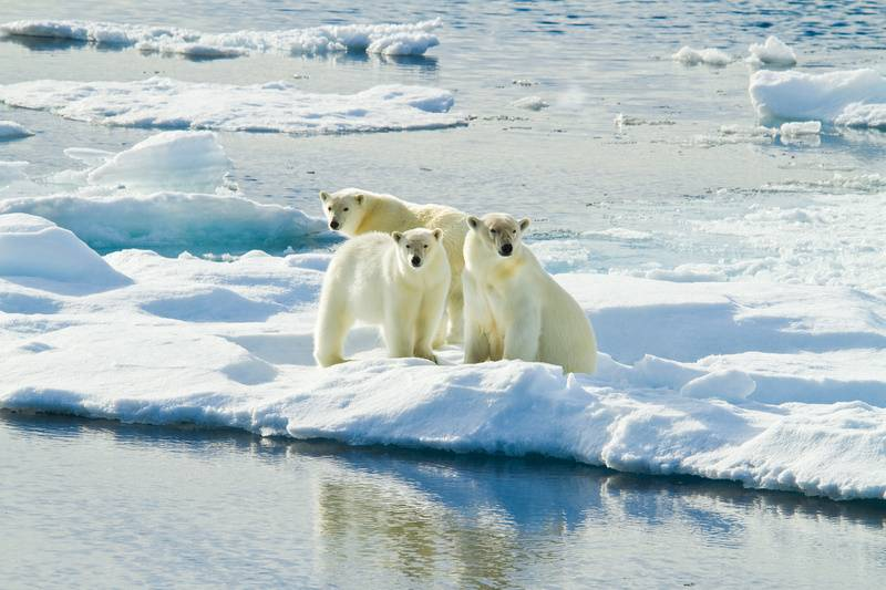 Polar bear and cubs, Northwest passage cruise
