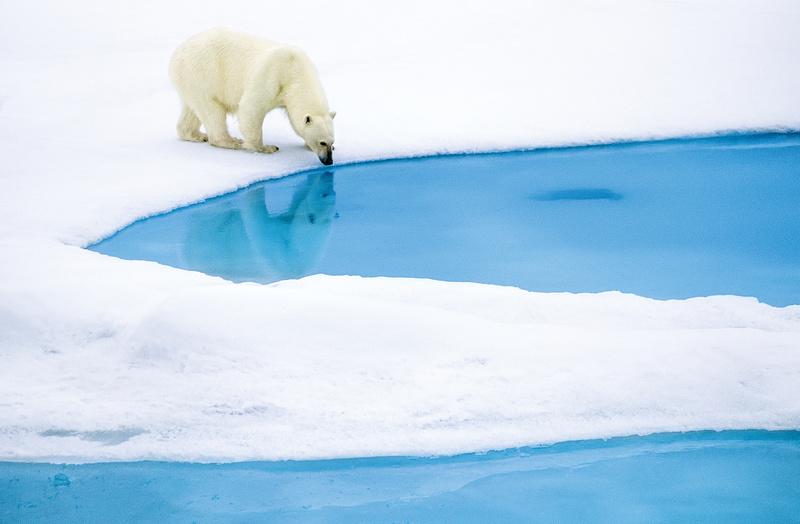 Polar bear drinking, Arctic cruise