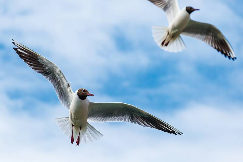 Arctic tern, Iceland cruise