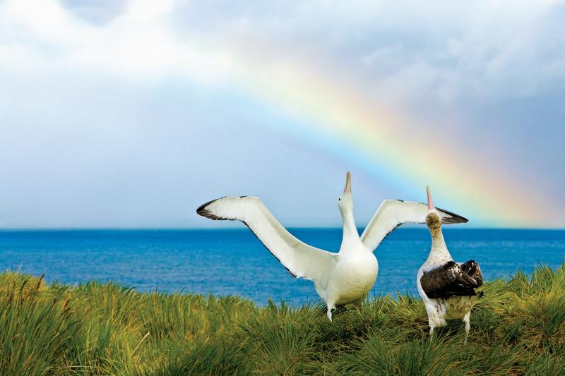 Albatross pair, Antarctica cruise
