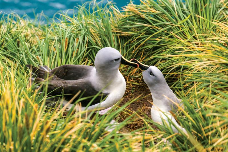 Albatross in South Georgia, Antarctica cruise