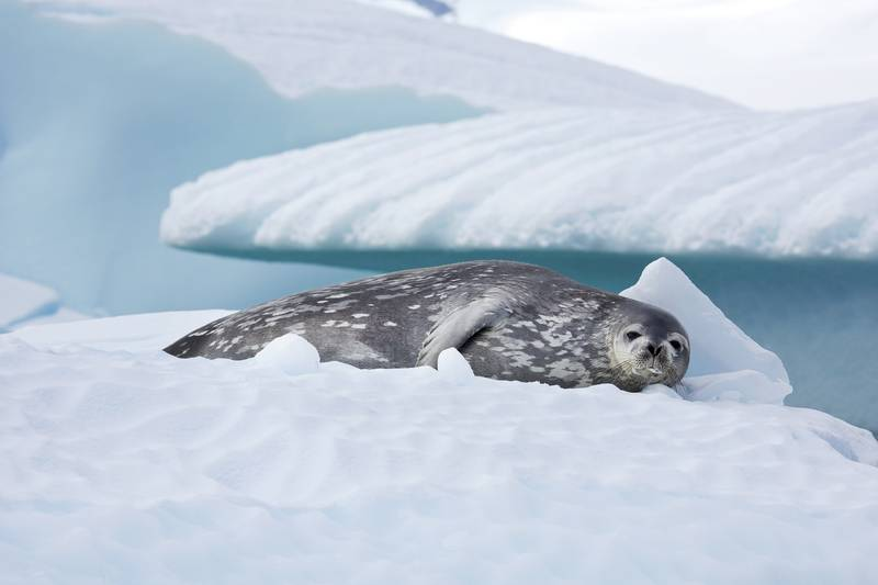 Seal on iceberg, Cruise to Antarctica