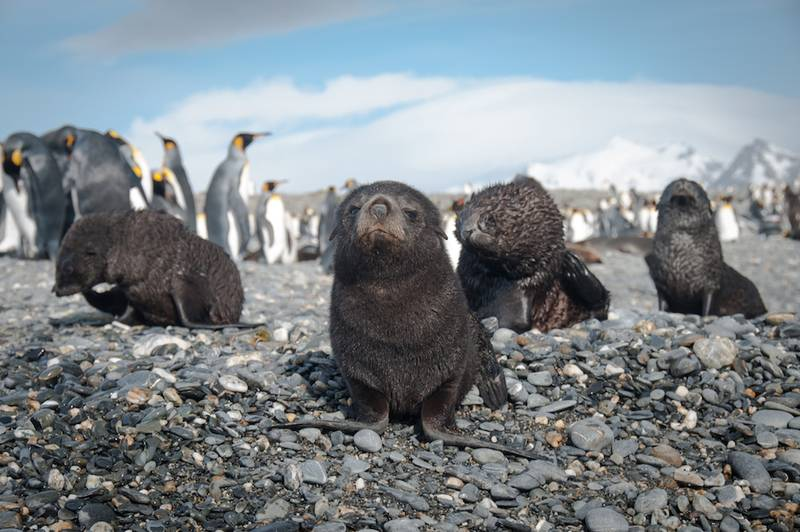 Seal pup and King penguins, South Georgia, Cruise to Antarctica