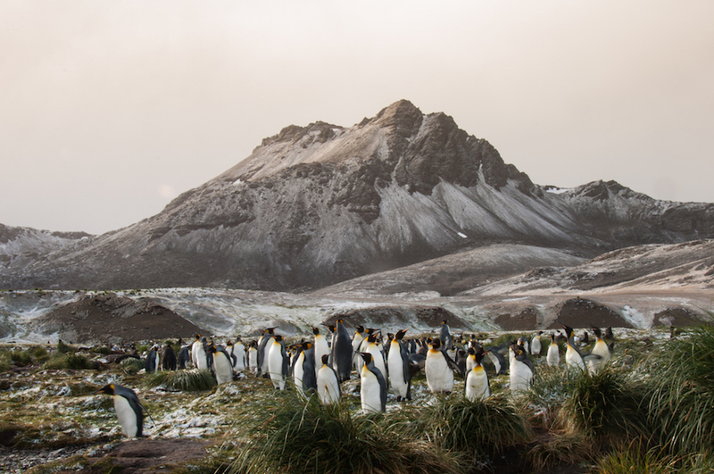 King penguins on South Georgia, Cruise to Antarctica
