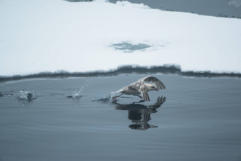 Arctic Sea bird, Arctic Cruise