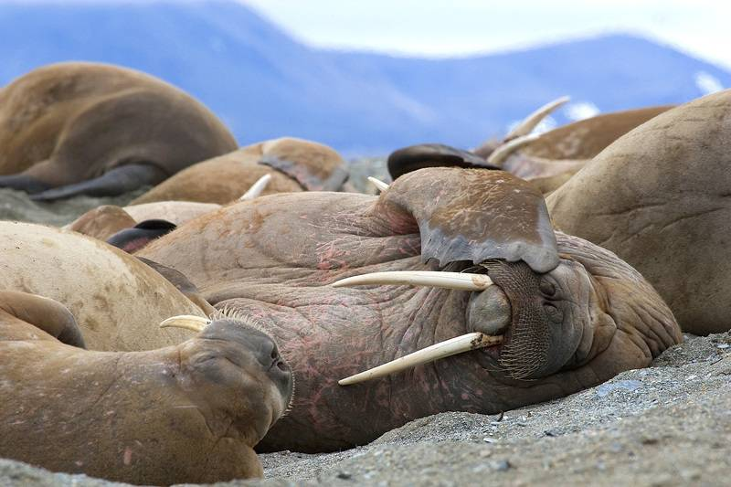 Walrus, Northwest Passage cruise