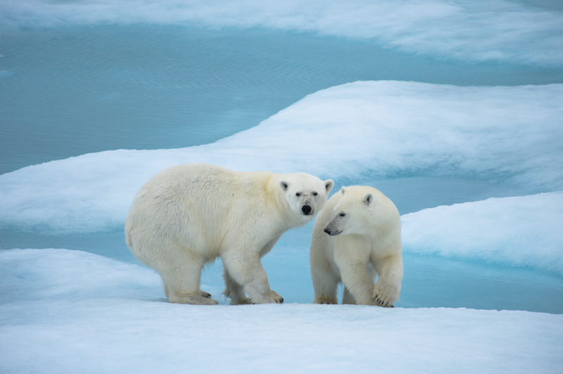 Polar bear with cub, Arctic cruise