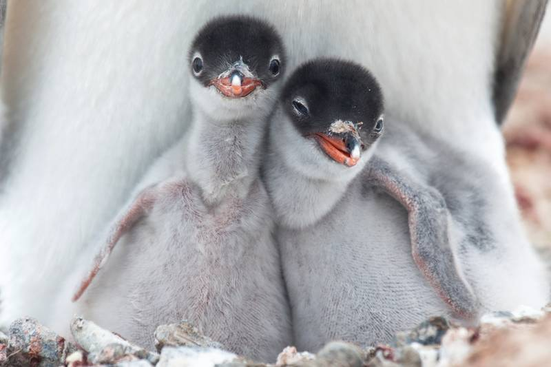 Penguin chicks, Antarctica cruise