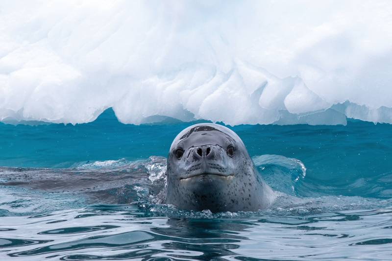 Leopard seal in Antarctica, Antarctica cruise