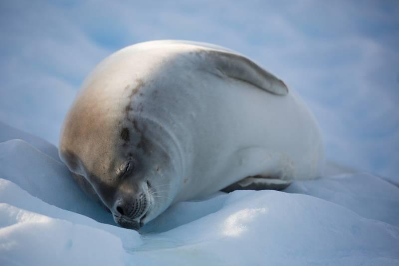 Seal in Antarctica, Cruise to Antarctica