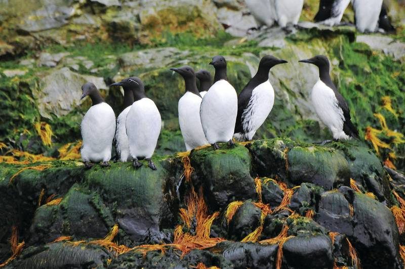 Auks, Cruise to the Arctic