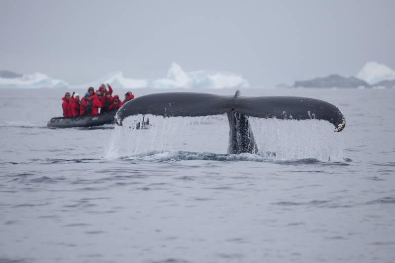 Whale fluke, Arctic cruise