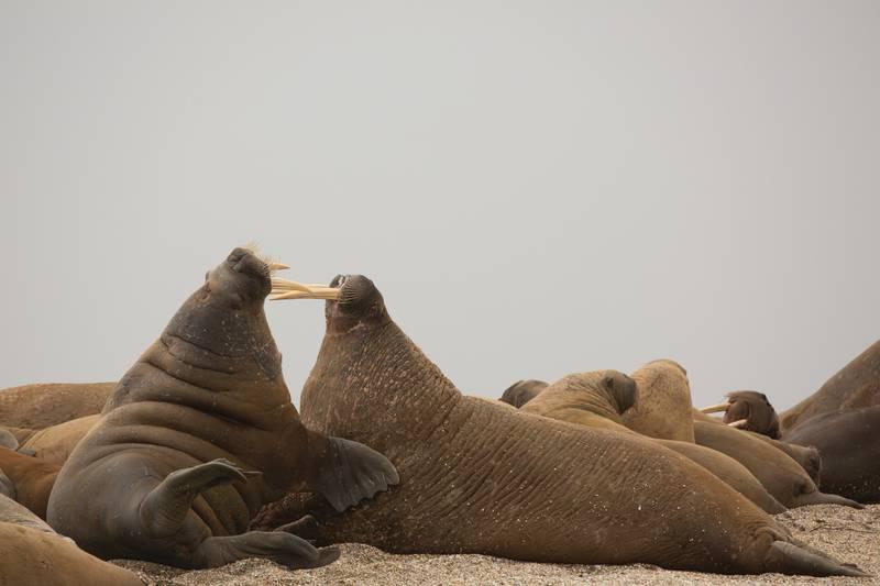 Walrus, Arctic cruise