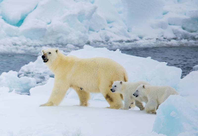 Polar bear with cubs, North Pole cruise