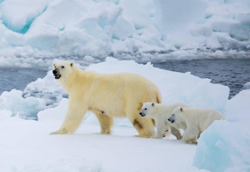 Polar bear with cubs, North Pole cruise