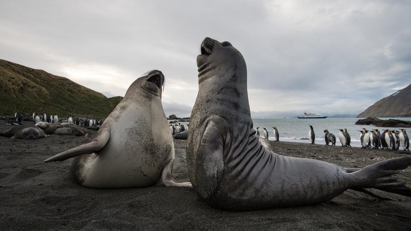 Seals in South Georgia, Antarctic cruise