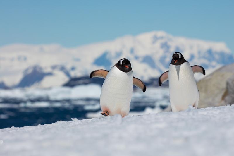 Gentoo penguin, Cruise to Antarctica