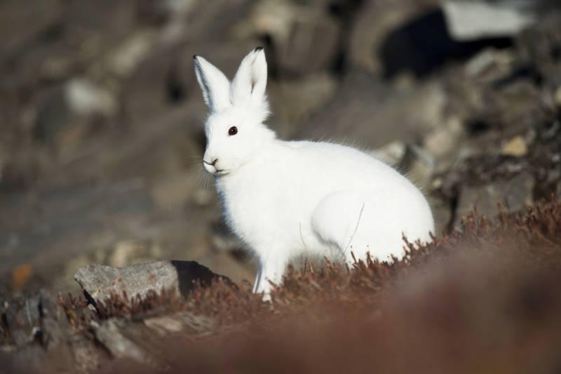Arctic hare, Arctic cruise