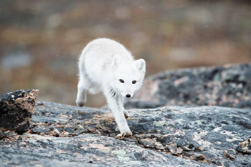 Arctic fox, Greenland, Arctic cruise