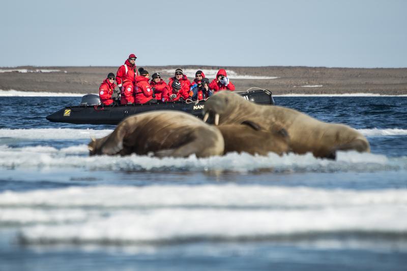 Walrus, Franz Josef Land cruise