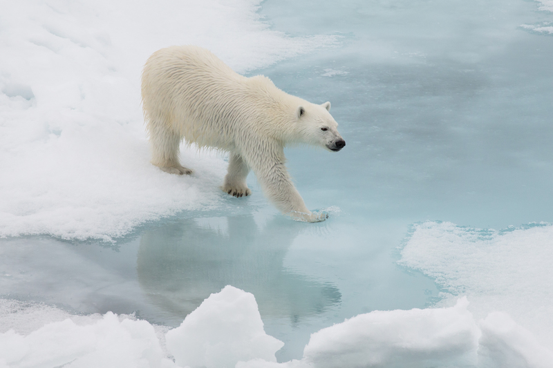 Polar bear, Franz Josef Land cruise